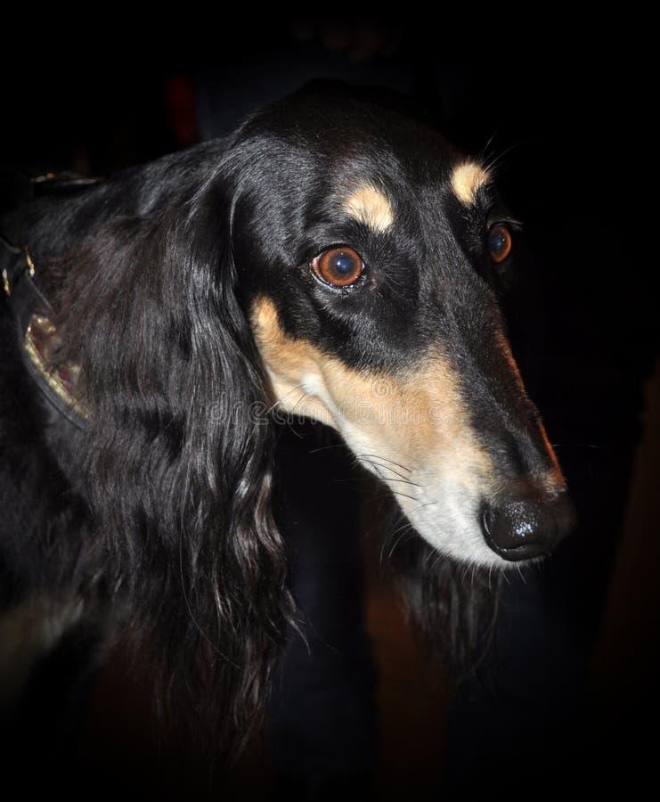 Download Saluki Royal Dog stock image. Image of domestic, exhibit - 39513317