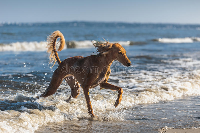Saluki in the Sea. Young saluki (persian greyhound) playing be the sea. Baltic Sea stock photo