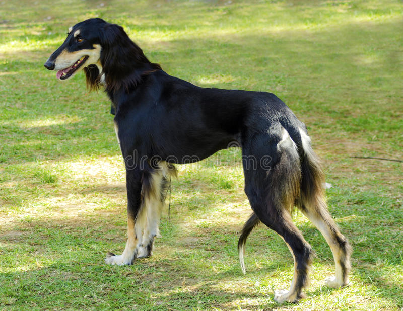 Saluki. A side view of a healthy beautiful grizzle, black and tan, Saluki standing on the lawn looking happy and cheerful. Persian Greyhound dogs are slim and royalty free stock images
