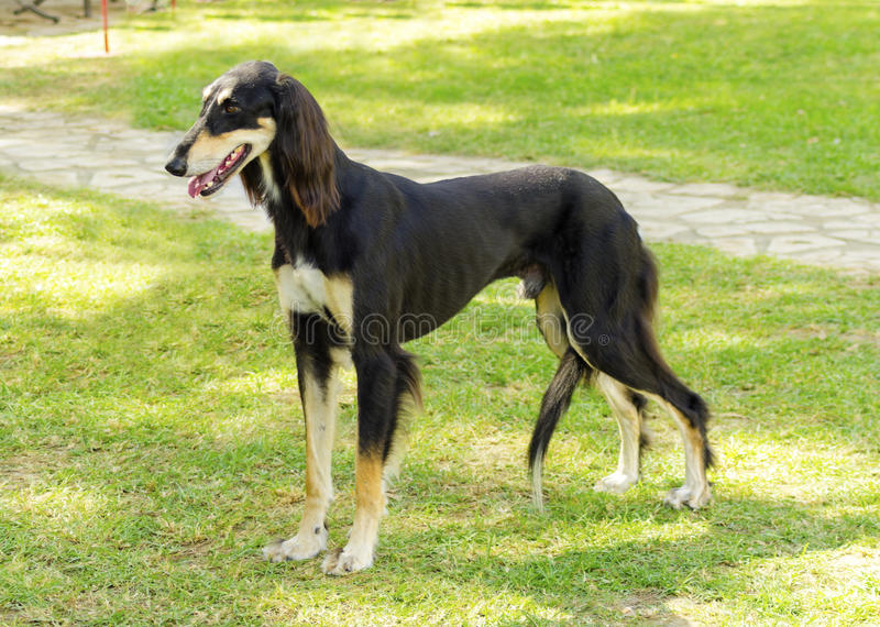 Saluki. A side view of a healthy beautiful grizzle, black and tan, Saluki standing on the lawn looking happy and cheerful. Persian Greyhound dogs are slim and royalty free stock photography