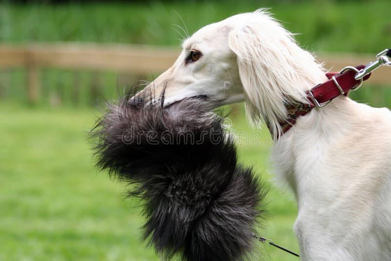 Saluki sighthound stockbild
