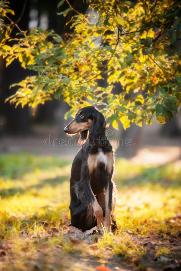 Saluki stands in a coniferous bright autumn forest stock photos