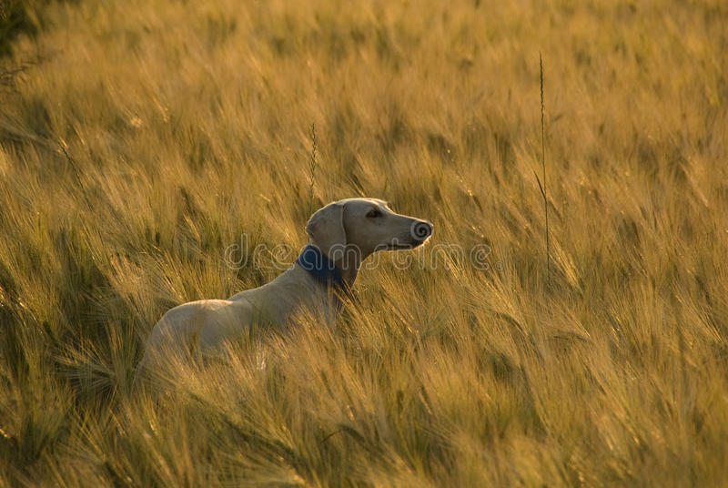 Saluki at sunset in a wheat field. royalty free stock images