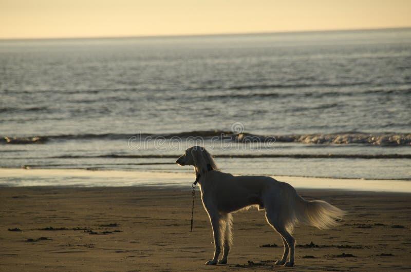 Salukihond op strand stock afbeeldingen