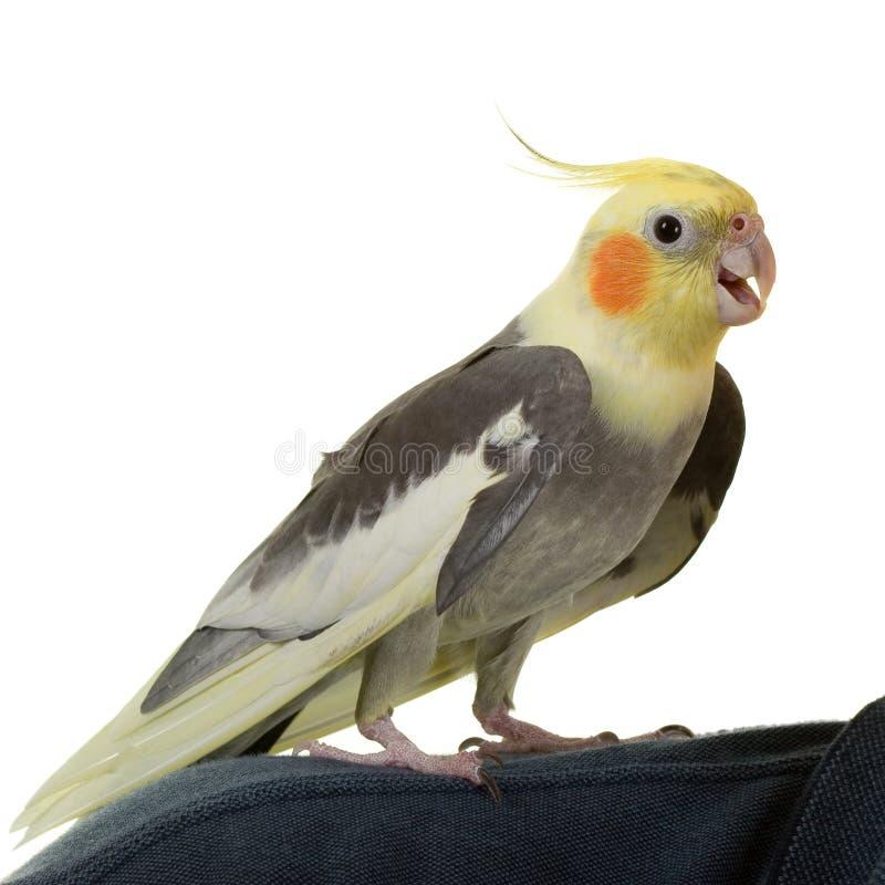 Salut du Cockatiel photo libre de droits
