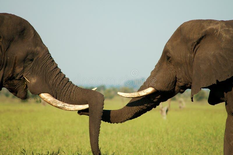 Salutation d'éléphant photos libres de droits