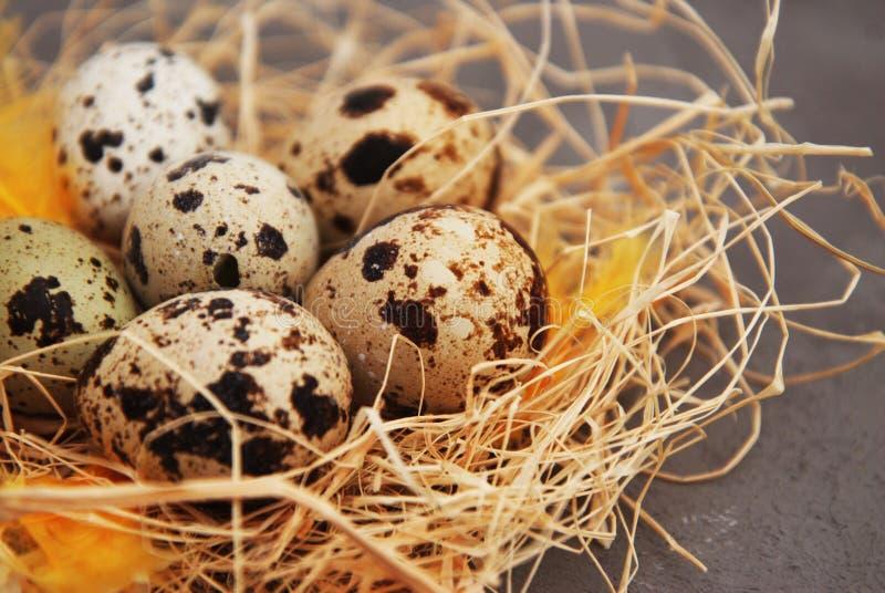 Salutation de Pâques Le printemps… a monté des feuilles, fond naturel Oeufs de caille dans un nid rustique avec les plumes jaunes images libres de droits