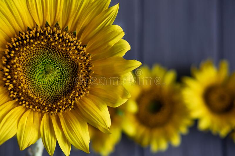 Salutation du design de carte avec des tournesols sur le fond en bois gris Vue pour le texte avec des fleurs de tournesol Tournes photo stock