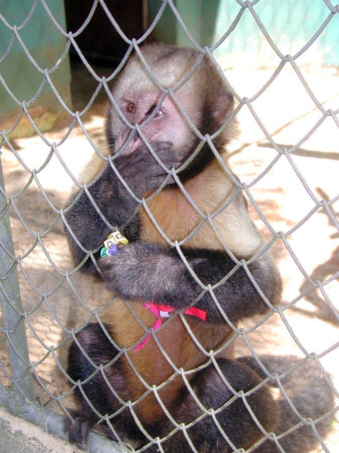 Salvador da Bahia Monkey - Brazilië royalty-vrije stock foto