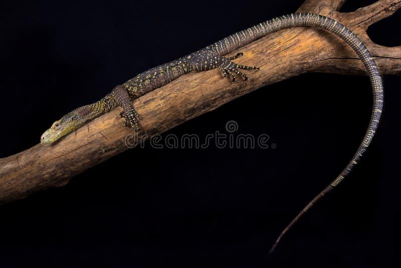 Salvadorii de Varanus de moniteur de crocodile images libres de droits