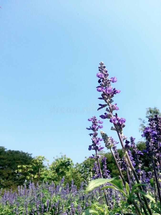 Salvai blu: Fiore & cielo blu porpora fotografia stock