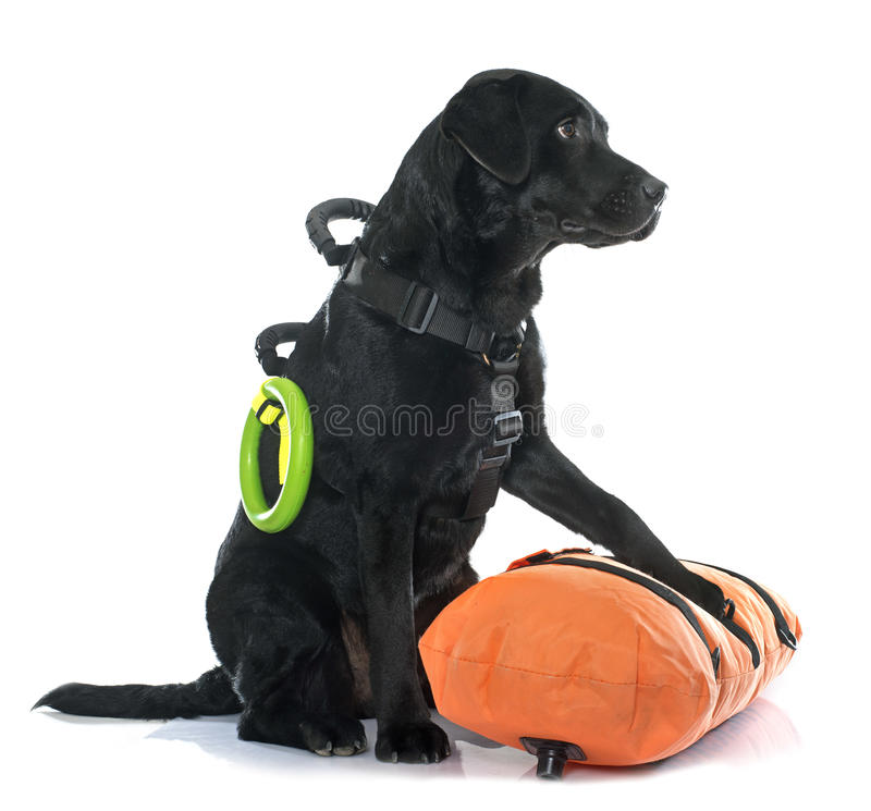 Salvamento labrador retriever foto de stock royalty free