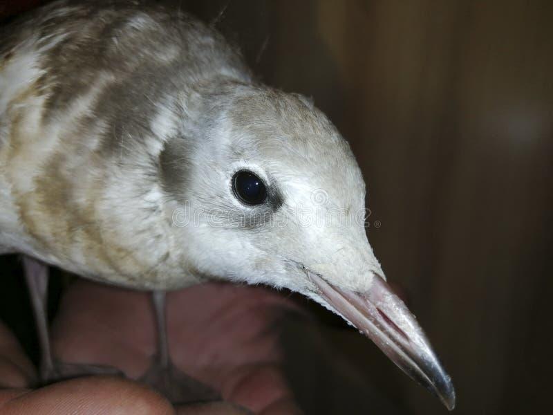 Salvar o pintainho da gaivota foto de stock