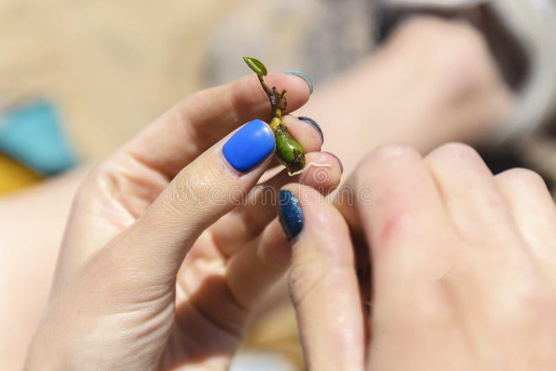 Salvar uma vida, uma menina que guarda um broto da planta o conceito da continuação da vida no imagem de stock