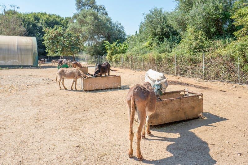 Salvataggio dell'asino di Corfù per gli asini maltrattati in Paleokastritsa a Corfù, Grecia immagini stock libere da diritti