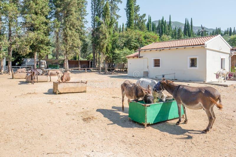 Salvataggio dell'asino di Corfù per gli asini maltrattati in Paleokastritsa a Corfù, Grecia fotografie stock libere da diritti