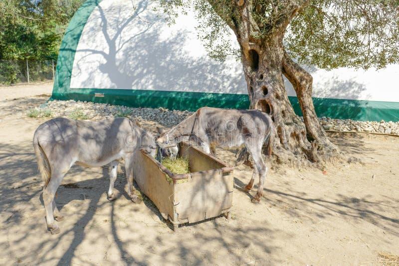 Salvataggio dell'asino di Corfù per gli asini maltrattati in Paleokastritsa a Corfù, Grecia immagine stock