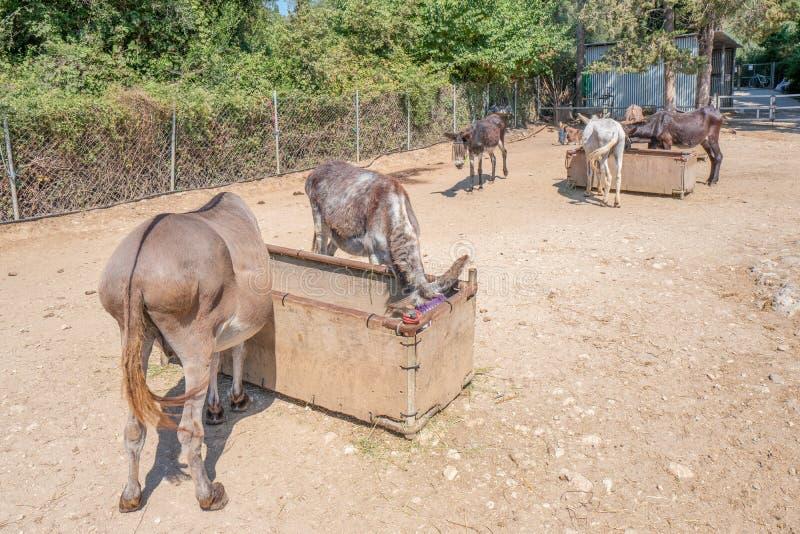 Salvataggio dell'asino di Corfù per gli asini maltrattati in Paleokastritsa a Corfù, Grecia fotografia stock libera da diritti