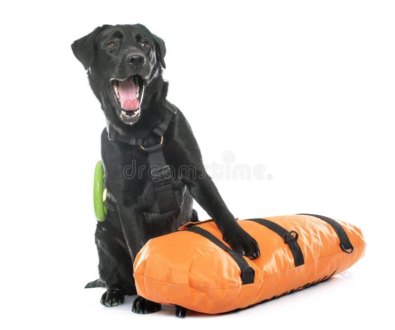 Salvataggio labrador retriever fotografia stock