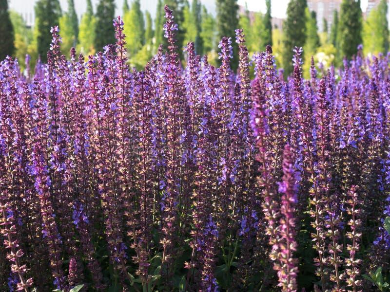Salvia丁香植物在公园被种植 库存照片