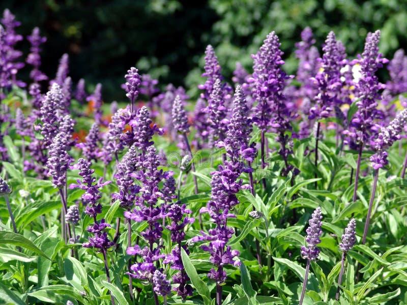 Salvia royalty free stock photography
