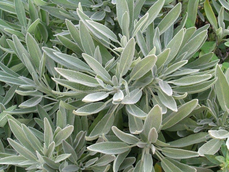 Salvia lizenzfreies stockbild