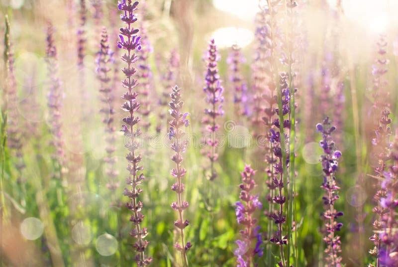 Salvia stock afbeelding