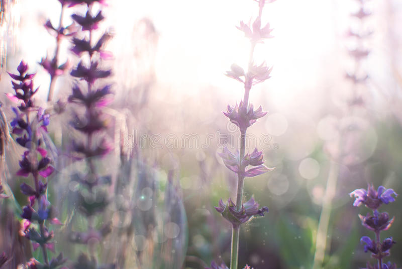 Salvia 免版税图库摄影