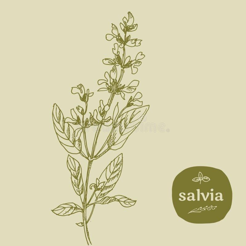 Salvia stock abbildung