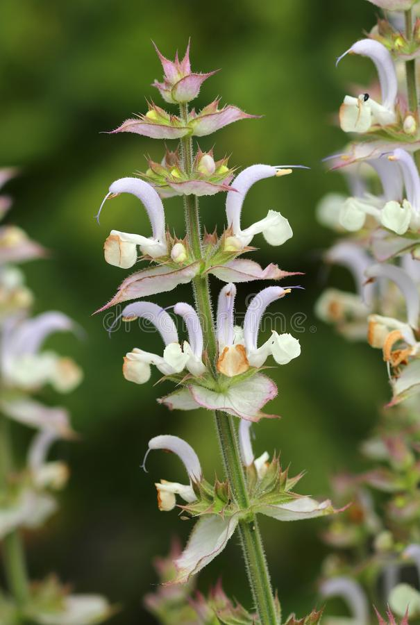 Salvia aethiopis curativo fotografia stock libera da diritti