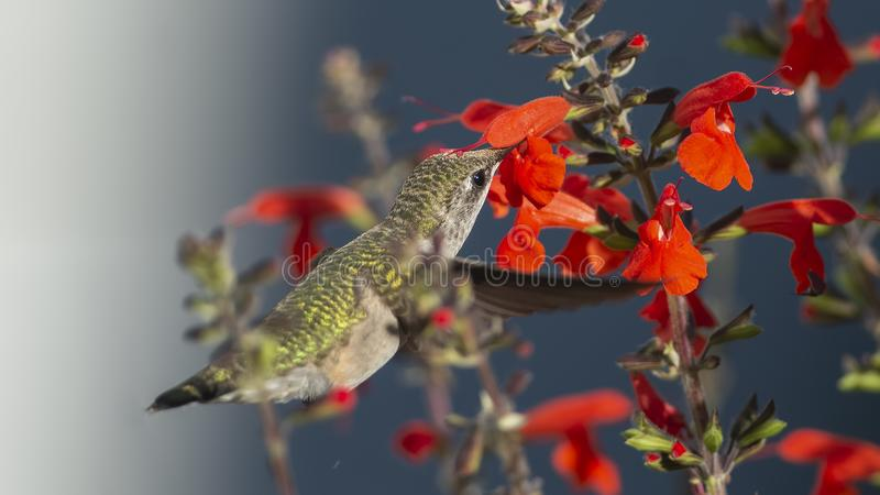 Salvia Anthers Depositing Pollen on a Hummingbird`s Crown. Ruby-throated Hummingbird, Archilocus colubris, with red Sage, Salvia coccinea. In this photo the bird royalty free stock photos