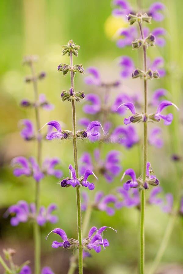 Salvia azul pétalos en el prado en la madrugada Luz suave y sombra fotografía de archivo