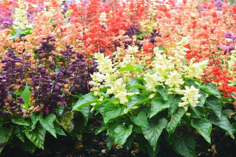 Salvia blommaträdgård royaltyfri foto
