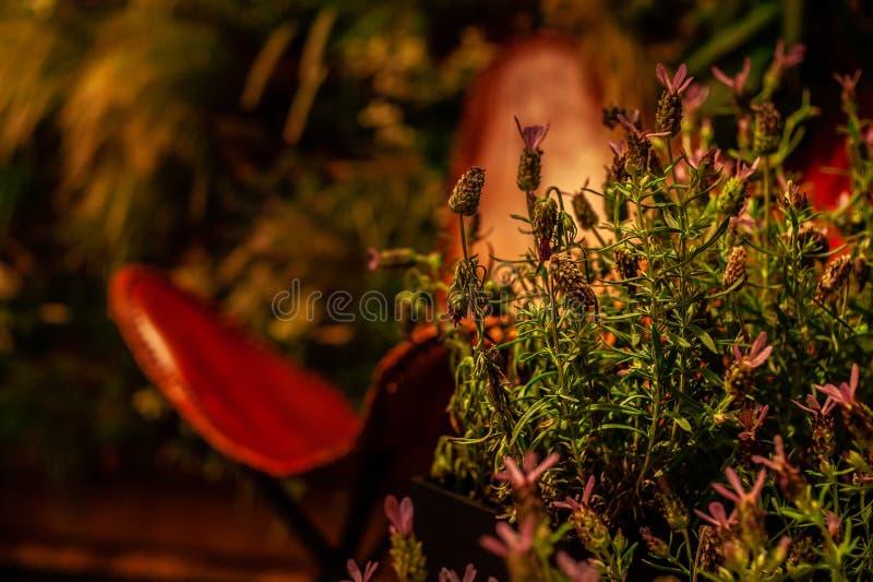 Salvia blommor i varmt ljus på kulör inre i dämpat ljus med enkel röd läderstol på baksidan royaltyfri foto