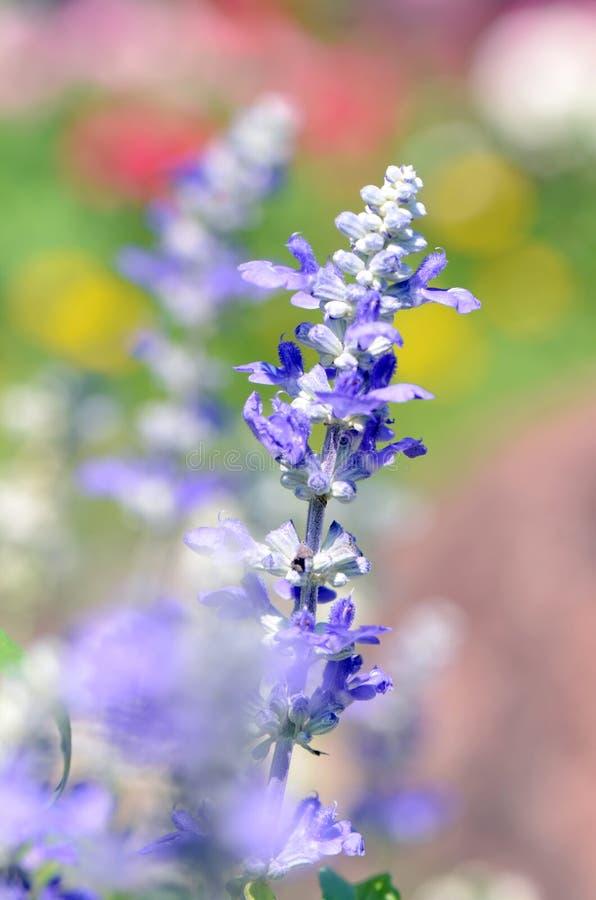 Salvia blu (farinacea Benth di Salvia ) alla luce solare luminosa fotografie stock