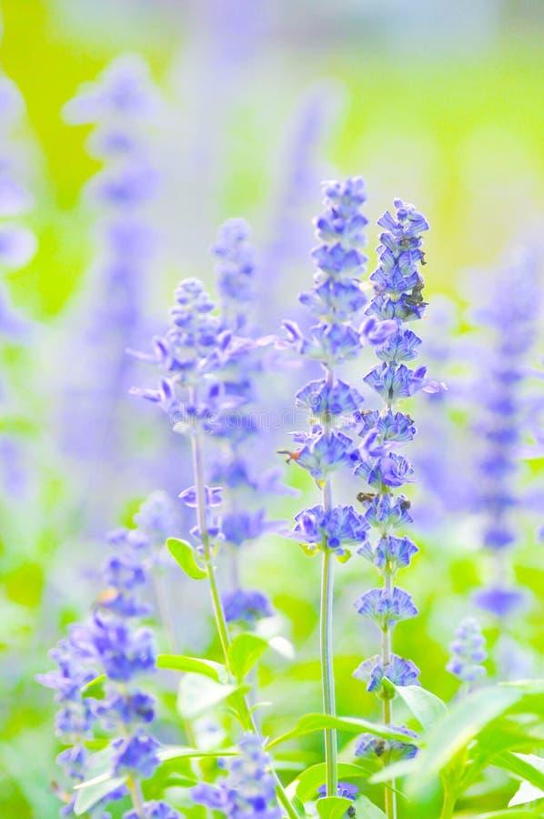 Salvia blu, farinacea farinoso Benth della salvia del cappuccio o di Salvia fotografie stock