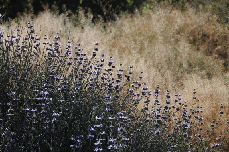 Salvia Clevelandii Purple Sage Flowering-Weide royalty-vrije stock afbeeldingen