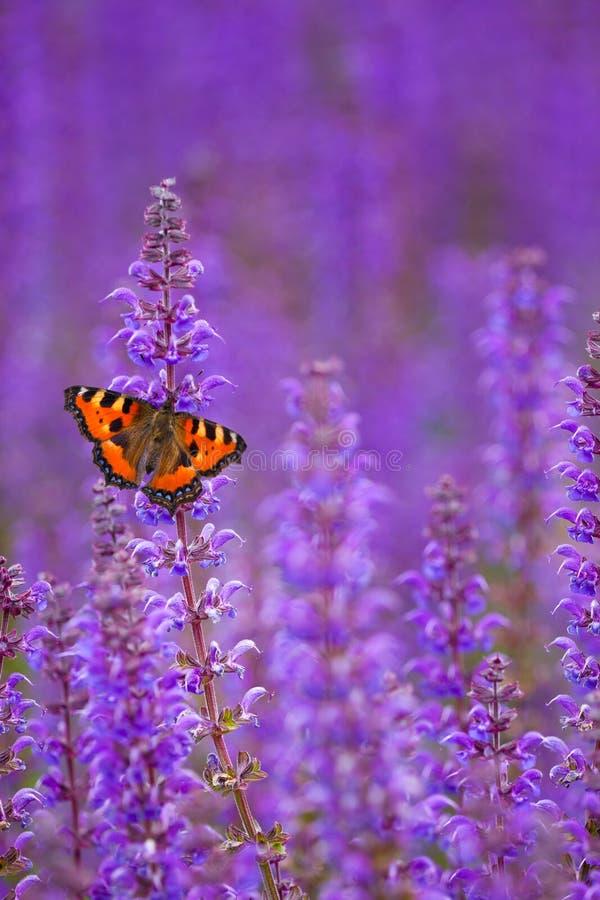 Salvia con la mariposa fotografía de archivo libre de regalías
