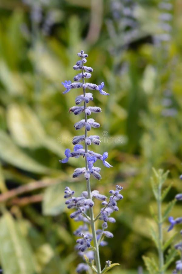 Salvia di Lacey Blue Russian fotografie stock libere da diritti