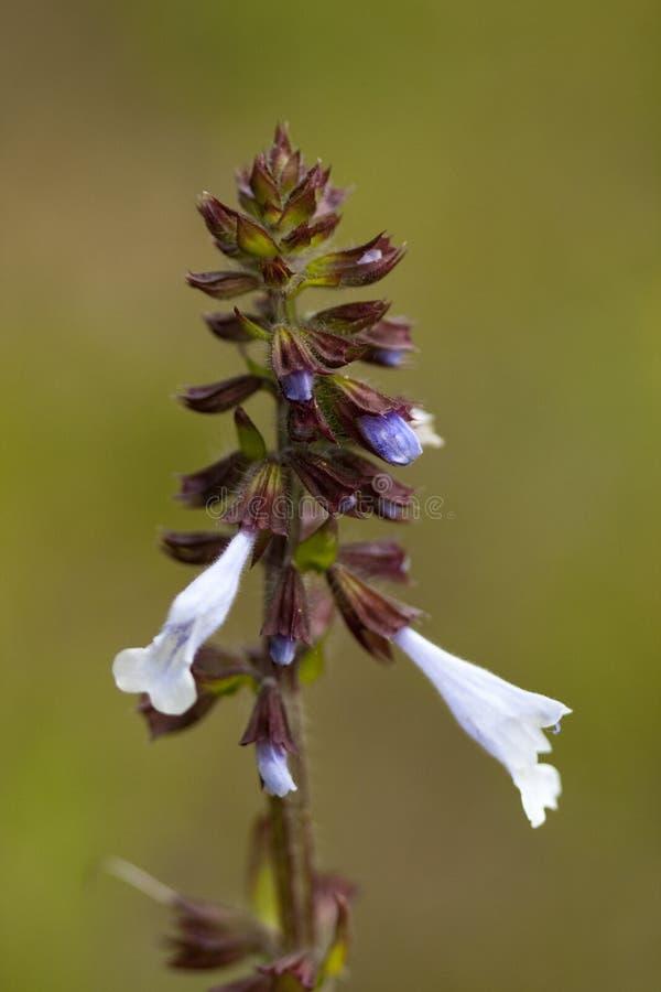 Salvia di Lyreleaf - Wildflower di lyrata di Salvia immagini stock