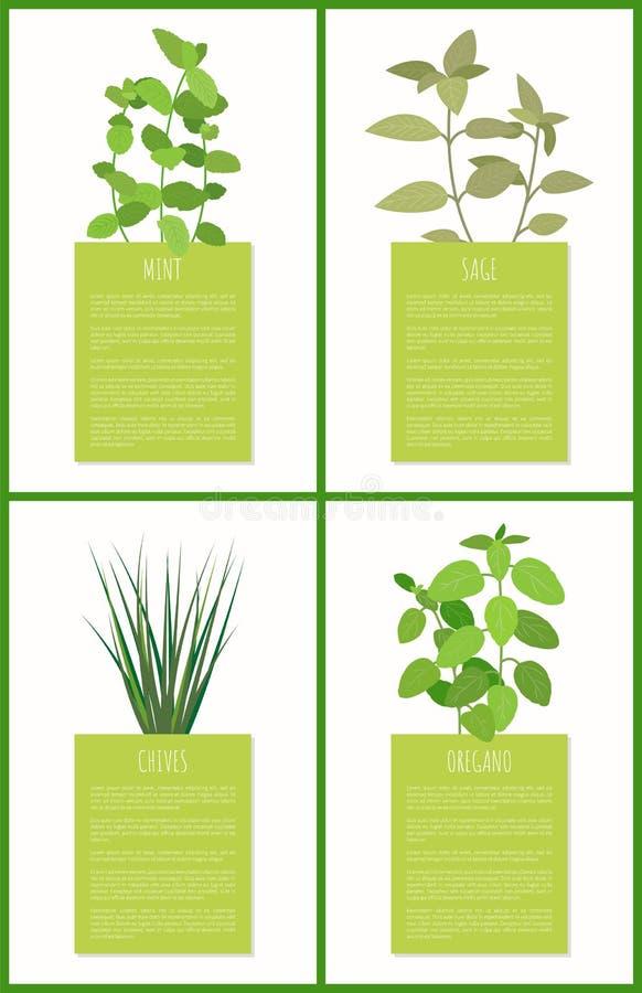 Salvia e menta, erba cipollina e condimenti dell'origano messi illustrazione vettoriale