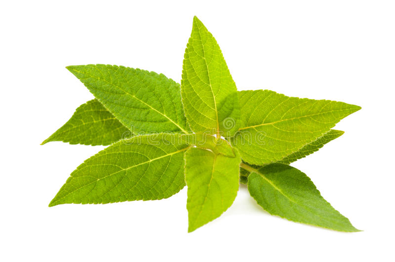 Download Salvia elegans stock photo. Image of mint, freshness - 23860972