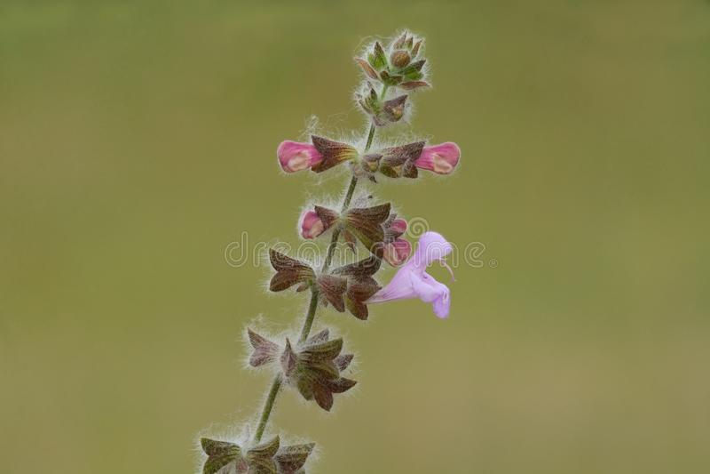 Salvia eller visa blommor på stammen royaltyfria foton