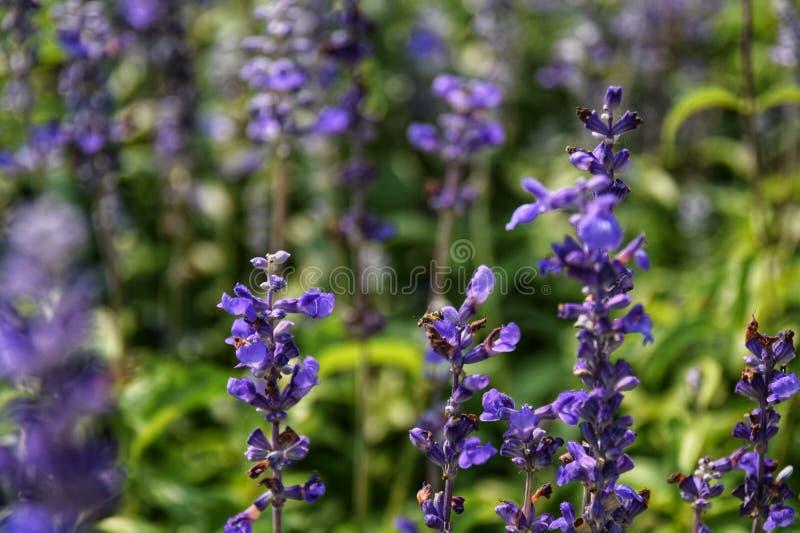 Salvia farinacea Benth 粉性的杯贤哲;美丽,明亮地上色和夺目 充分开花的白色紫色花, Bu 免版税库存照片