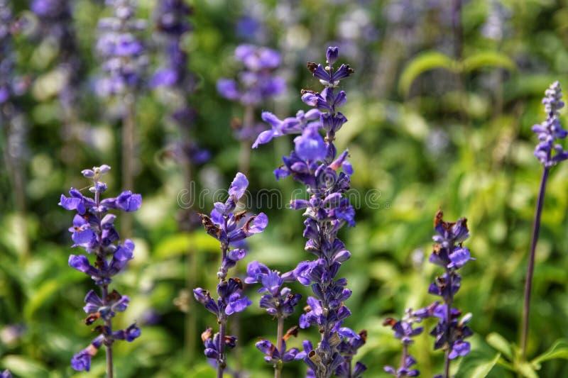 Salvia farinacea Benth 粉性的杯贤哲;美丽,明亮地上色和夺目 充分开花的白色紫色花, Bu 图库摄影