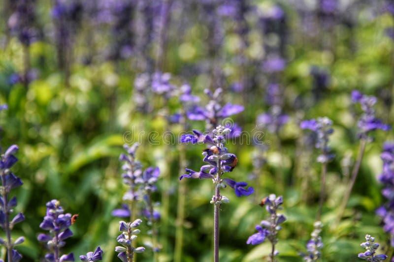 Salvia farinacea Benth 粉性的杯贤哲 免版税库存图片
