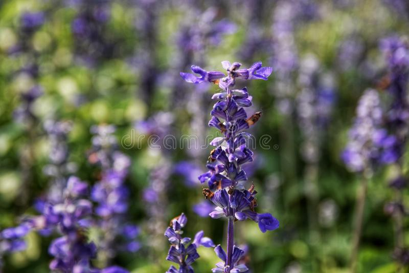Salvia farinacea Benth 粉性的杯贤哲 库存图片