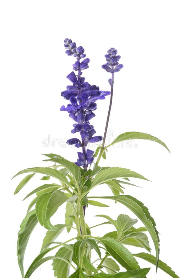 Salvia farinacea flowers. Salvia farinacea with flowers isolated on white background stock photo