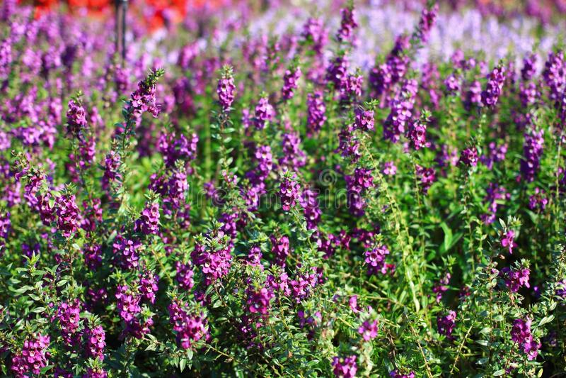 Salvia Flower immagini stock
