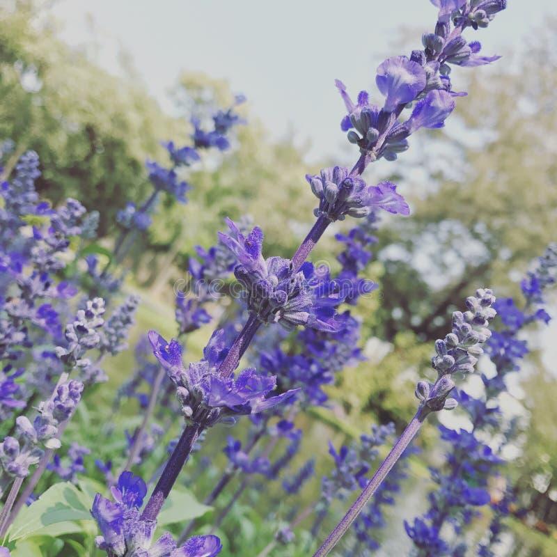 Salvia Flower imagens de stock royalty free